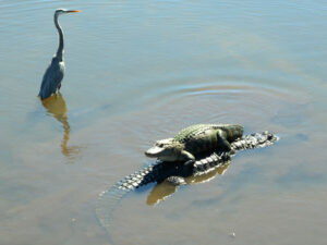 everglades-national-park-alligator