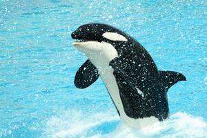 Orca im Becken des SeaWorld in Florida