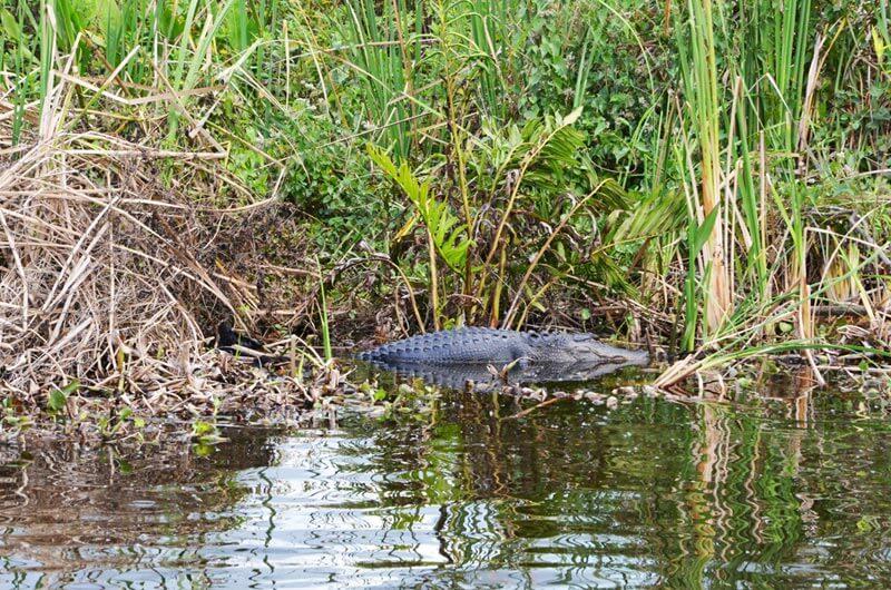 Alligator auf einer Airboat Tour in den Everglades