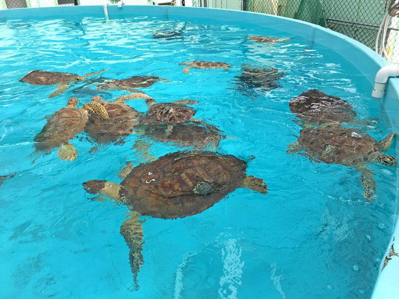 Schildkröten im Wasserbecken vom Turtle Hospital FL