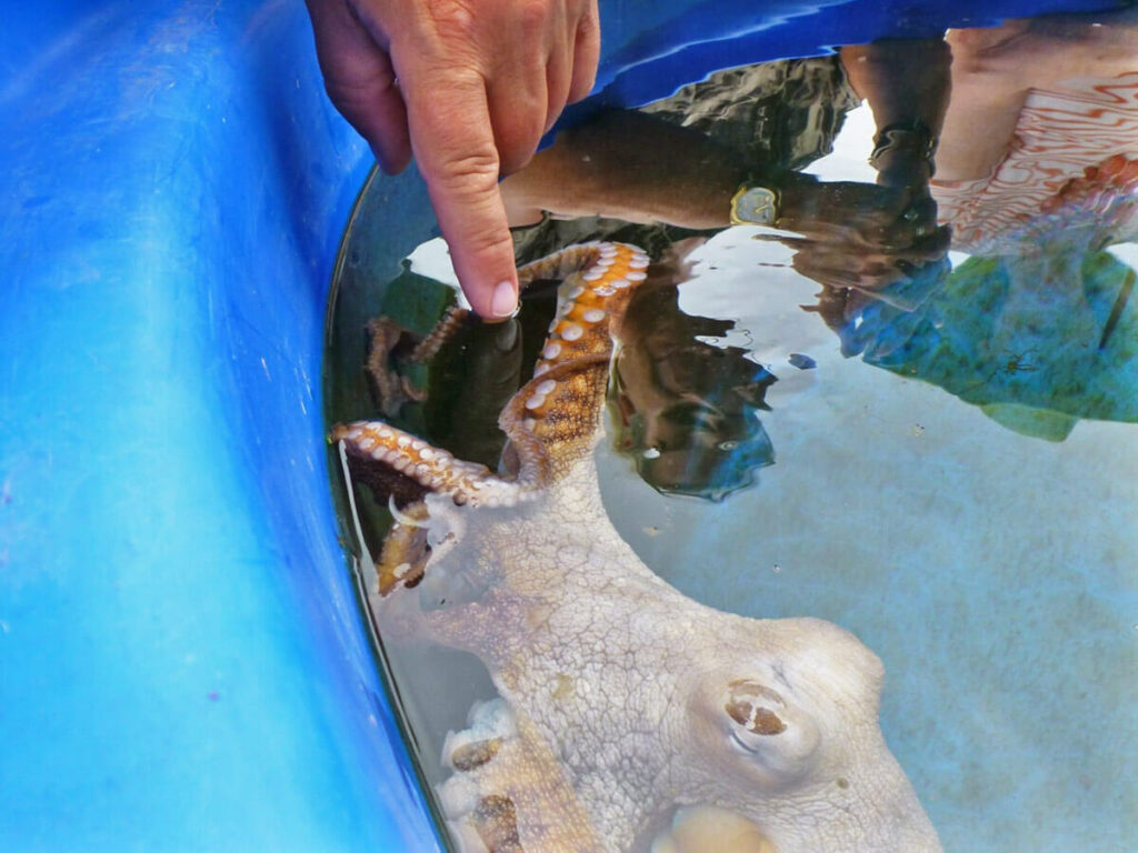 Octopus berühren auf Big Island