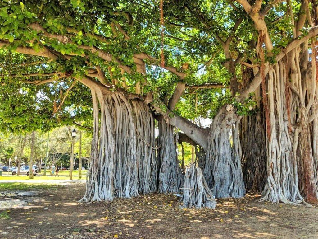 Alter Baum am Waikiki Beach