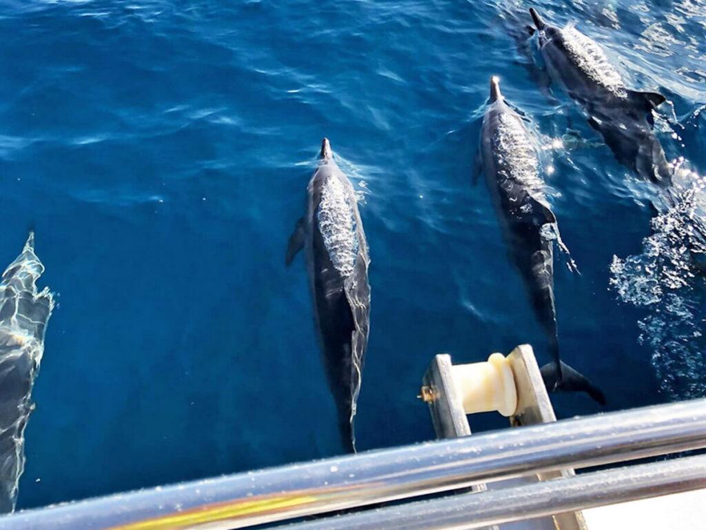 Delfine auf einem Segelturn an der Na Pali Coast