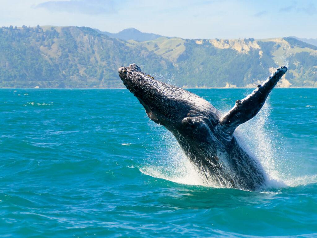 Wal springt vor Maui aus dem Wasser