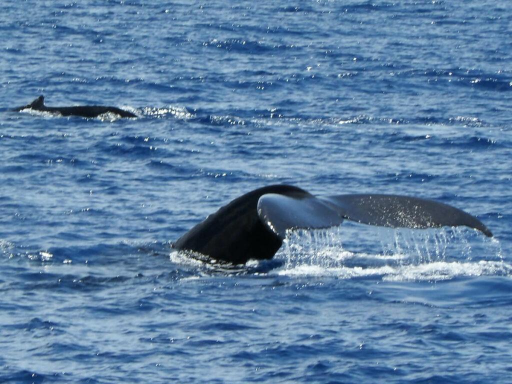 Zwei Wale mit Flossen im Wasser vor Maui