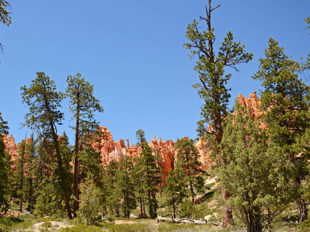Kiefernwälder im Brayce Canyon