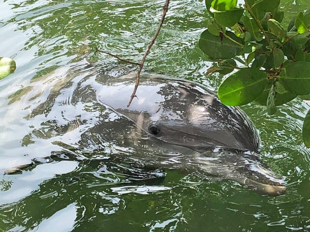 Delfine in Florida schwimmt im Wasser