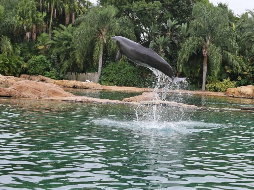 Delfine springt aud dem Wasser im Discovery Cove