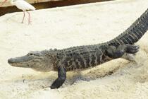 Aligator in Gatorland in Orlando
