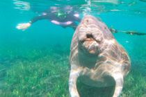 Schnorcheln mit einem Manatee in Florida