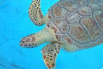 Schildkröte im Krankenhaus auf den Keys in Florida