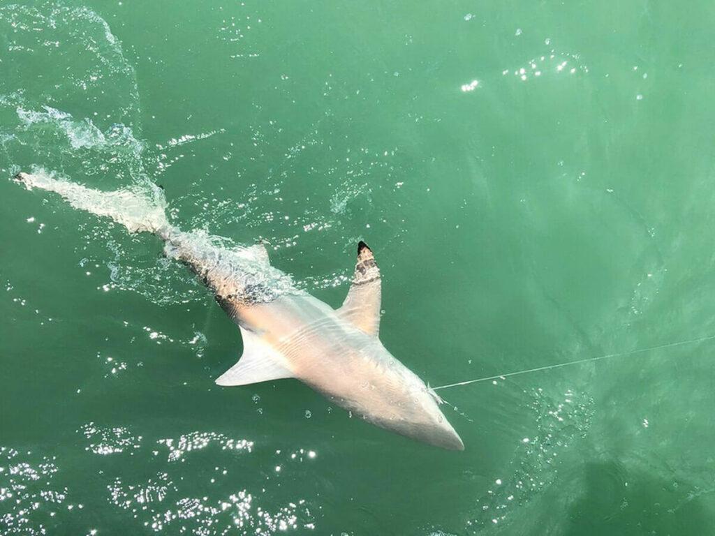 Hai geangelt beim Hochseefischen in Florida