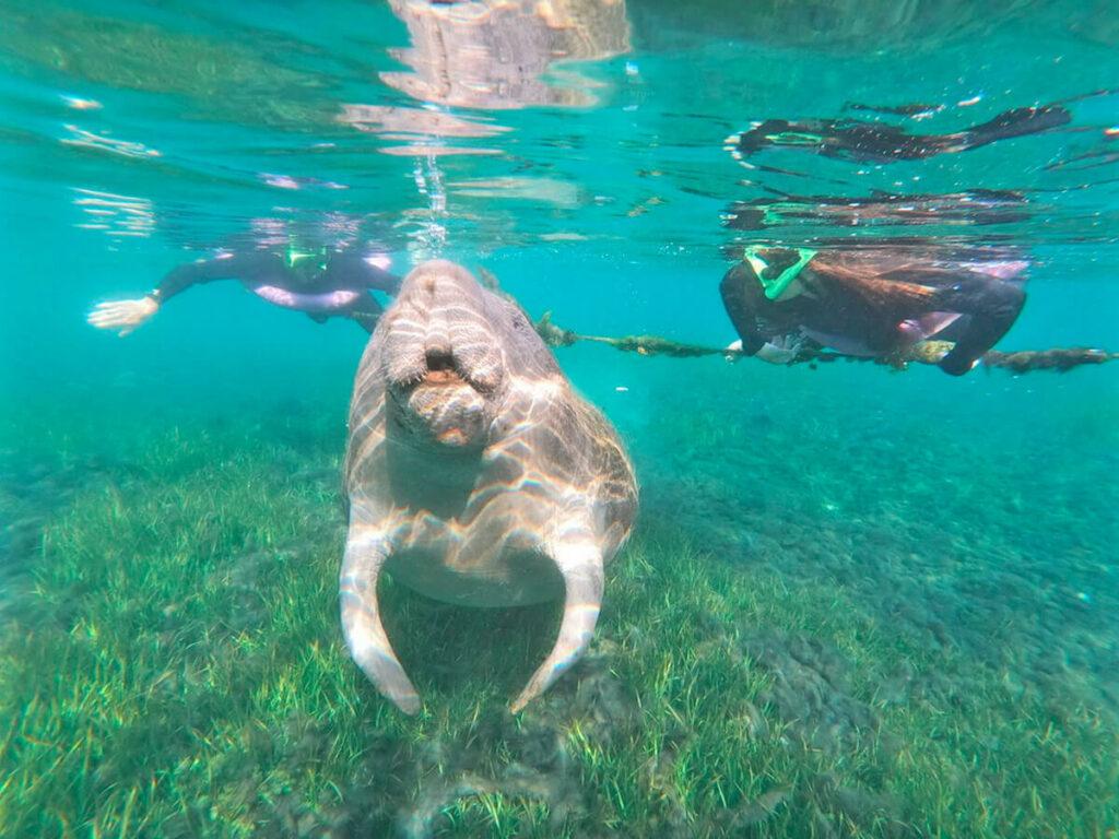 Seekuh im Wasser mit zwei Schnorchler