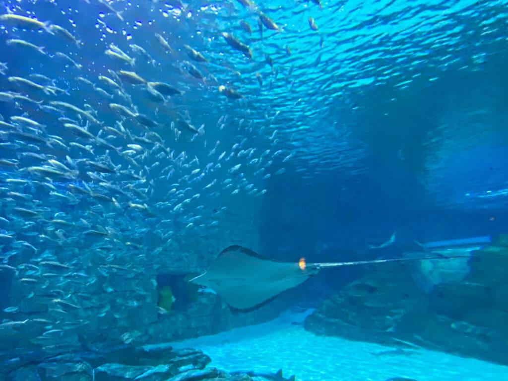Rochen im Becken des Seaworld in Orlando