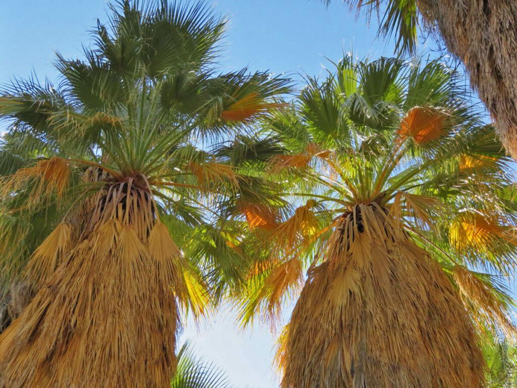 Hohe Palmen im Park